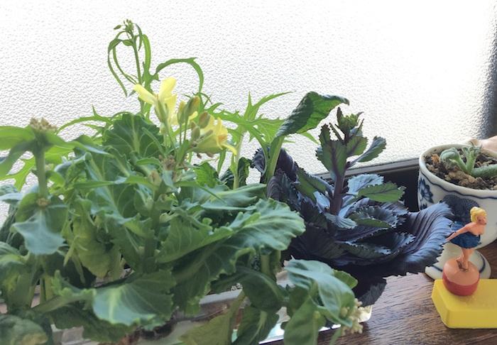 キャベツや水菜、コマツナはとう立ちすると、黄色いアブラナ科特有の菜の花を咲かせます。キッチンガーデンとして気軽に楽しむことができますよ。