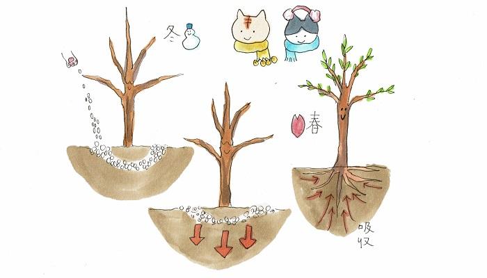 主に果樹や樹木の生育が鈍る寒い冬の時期に与える肥料のことを寒肥(かんごえ)といいます。この時使用される肥料は、土に分解されるまで時間のかかる緩効性の有機質肥料です。気温の上昇とともに、ゆっくり土に分解され、ちょうど春の芽吹きの頃に養分が吸収されるので、春以降の果樹や樹木の生育を助ける大切な肥料となります。
