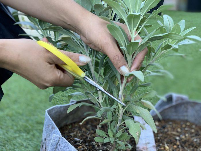 今回はお庭で育てたホワイトセージでワンドハンドルを作ってみる事にしました。根に近い方の分かれた枝を数本カットします。