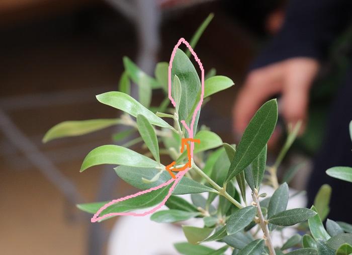 岡井先生の言葉の意味がわかりますか?ピンク色で囲った葉が出ている向きと同じ方向に、新しい枝が2本(オレンジ色の矢印)出ていますよね。参加者で感動して「ほぉー!」と、うなずき合いました。