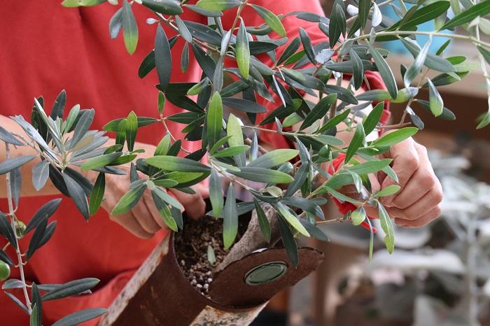 でも、空き缶で育てると真夏は鉢の中が高温になりやすかったり、根が窮屈だったり、もちろんオリーブにとってはベストな環境ではありません。この写真のオリーブは、岡井先生によると栄養不足で葉の色が半分薄いグリーンになっています。追肥が必用な状態です。オリーブにとってベストな場所に植えてあげない場合は、使う土を良いものにしたり、水や肥料をまめにあげたり、環境が良い場所に移動してあげたり、少し気を遣ってあげることが大切だそうです。
