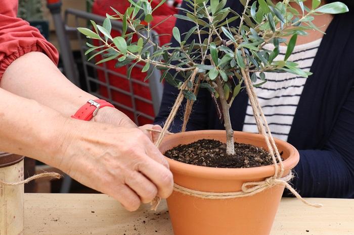 岡井先生に教わった樹形づくりの方法にチャレンジすると、麻ひもを使ってオリーブを好みの枝ぶりに仕立てることができます。  岡井先生「オリーブが空に向かって両手を広げて光と風をたくさん取り込む樹形をイメージしてね。」