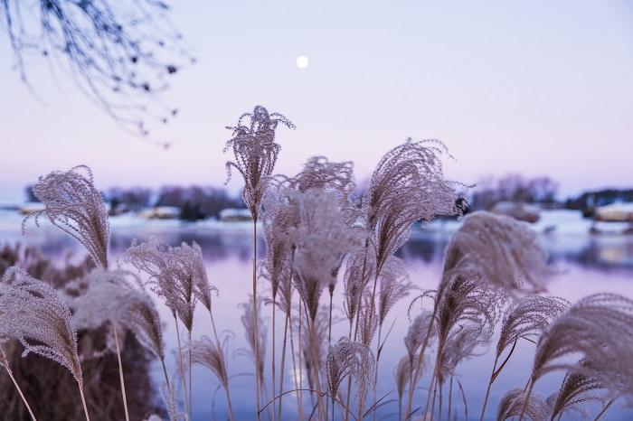 ススキという植物について、私たちの持っているイメージと言えば、「秋を代表する草花」「お月見の時に飾る花」といった類のものではないでしょうか。  そんな固定概念を覆して、ススキが愛おしくなってしまうようなススキの魅力をご紹介します