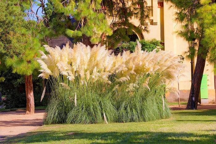 日当たり 日当たりの良い場所を好みます。  土壌 痩せ地でも育つ強健種です。水捌けさえ気をつければ、特に用土は選びません。パンパスグラスはとても大きくなるので、鉢植えには不向きです。地植えで管理しましょう。  水やり パンパスグラスは一度根付けば、特に水やりの必要はありません。  植え付け、植え替え パンパスグラスの植え替え、植え付けは、春か秋の暖かい日に行います。植え付け、植え替え後はたっぷりと水を与えます。  肥料 過肥を嫌います。植え付け時に元肥を混ぜ込めば、特に肥料の必要はありません。  増やし方 パンパスグラスは株分けで増やせます。春か秋の暖かい日に行います。  その他必要な作業 耐寒性があまり強くないので、冬は霜除けのマルチングをしてあげたほうが良いでしょう。冬の間立ち枯れ姿を楽しんだら、翌春3月頃、新芽が出てくる前に株元から昨年の枯れた葉を刈り込みます。  ※ススキと同じくパンパスグラスの葉は細く、指を切ってしまうことがあります。手袋をする等の注意をしてください。