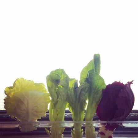 購入したキャベツやコマツナ、水菜などでもアブラナ科の花を楽しむことができます。  室内の日当たりの良い環境なら、アブラナ科野菜の芯の部分を使って花を咲かせることができます。