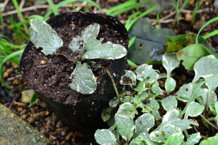 この根が出ているランナーの子株を使った増やし方をご紹介します。  写真のようにランナーを切らずに、土を入れたポット苗にそっと子株をセットします。セットしたらお水をたっぷり。ポットの中の土が完全に乾ききってしまうことのないように水やりをして管理します。2週間~3週間くらいで根付くはずです。それまでは葉をいじらず水やりだけを続けます。