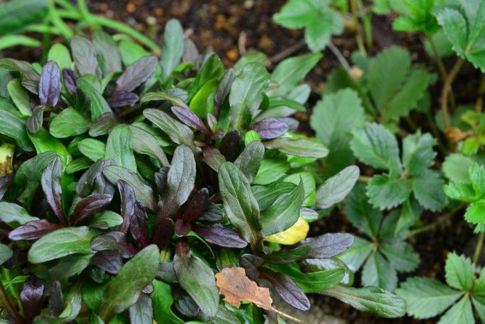 アジュガ・チョコレートチップ  花はもちろん葉の色や形が豊富で多品種あるので、花の咲かない時期もリーフプランツとして花壇や寄せ植えに利用できる草花です。葉っぱの大きさも小さめのものから少し大きめなものもあり、種類によって若干花丈も違います。