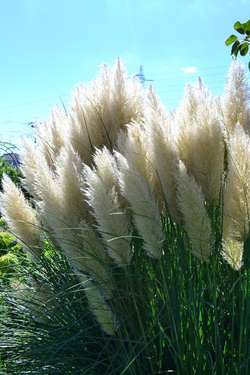 パンパスグラス  パンパスグラスはイネ科の多年草。ススキの大型版のようなパンパスグラス。2種は科は同じイネ科ですが、属は違う分類です。矮性種で1m、高性だと3m以上にもなる大型の草花で、最近では生花としても流通しています。