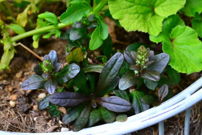 アジュガの苗は3号ポット苗(9cm)での販売が一般的ですが、最近はもっと小さなポット苗でも販売されているのを見かけます。寄せ植えに使いたい方にはおすすめです。写真は寄せ植えに使った小さなアジュガの苗。小さくてもつぼみをつけています。