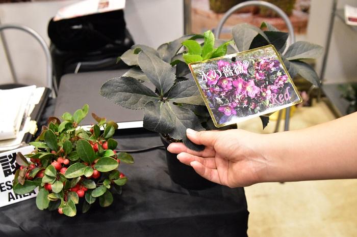Ice N'roses Ⓡ氷の薔薇  クリスマスローズのニゲル交配種は種子ができる可能性が少ない中で、奇跡的な交配により生まれた種子から選び出された品種です。従来のクリスマスローズでは考えられない太さと厚み、強健さ、ニゲル系ガーデンハイブリッドにはない色合いの豊かさを持ち合わせた究極のクリスマスローズ。今現在、レッド、ローズ、ホワイトの3色の展開です。カタログを見せていただいて驚いたのが、花数の多さ!1苗で数年すると、かなりの花数になります。