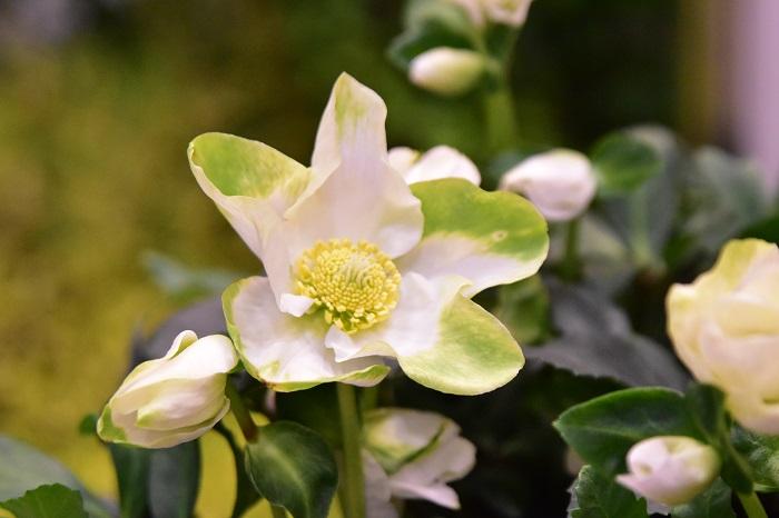 うつむいて咲くイメージのクリスマスローズですが、童仙房ナーセリー&ガーデンさんのクリスマスローズは、顔が上向きの品種が多いのも特徴のひとつ。これは写真撮影がしやすいし、切り花としてのパフォーマンスも高そうです。