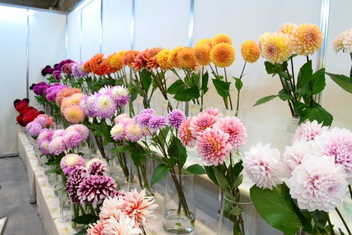 JA秋田なまはげのブースでは、最新のダリア60種を紹介!咲き方、色合いの違うダリアが勢ぞろいして圧巻でした。JA秋田なまはげさんでは、平成14年から切り花の栽培を2名の生産者さんでスタートし、今では34名の生産者さんに増えているそうです。秋は美しい切り花のダリアが花屋さんに並ぶ時期。是非花屋さんで生のダリアをご覧ください。