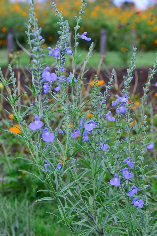 サルビア・アズレア  こちらも晩夏から秋にかけて咲くサルビア・アズレア。シソ科の多年草です。このサルビアもとても大きくなるタイプのサルビアです。澄んだ空色は、秋の花ではなかなかないので貴重かもしれません。