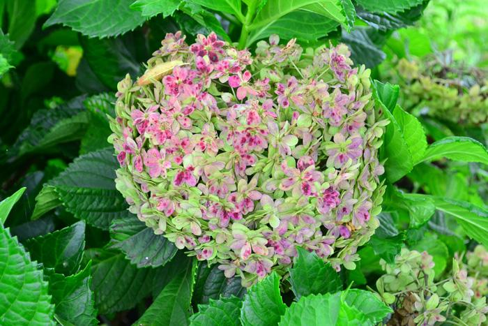 ただし、西洋アジサイを来年も確実に花を楽しみたいのなら、7月くらいまでに花を剪定する必要がありますが、大きなガーデンに行くと、切らずに残している株を見かけることがあり、美しく秋色に変化した花姿に出会えることがあります。