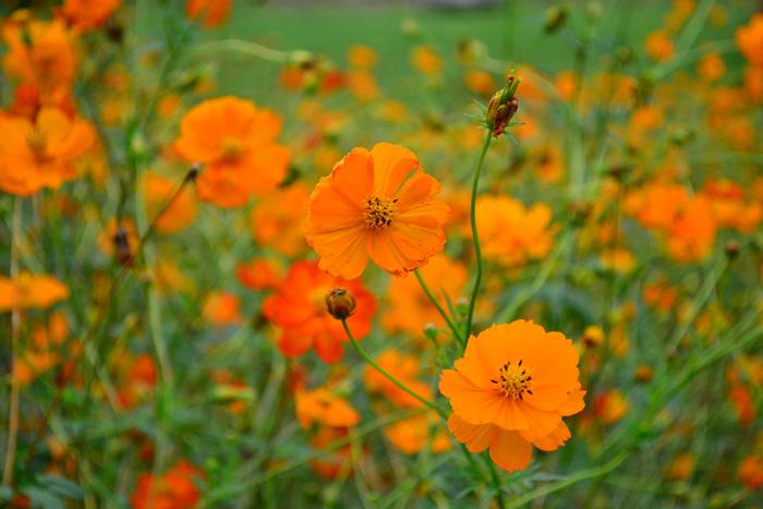 キバナコスモス  キバナコスモスは、キク科の一年草、メキシコ原産で暑さに強い花。秋のガーデンにはとてもよく植栽されている花です。  キバナコスモスは、コスモス属でコスモスの仲間ですが、葉の形状や花色など、コスモスとは違う植物です。コスモスより草丈が低めで、花の開花時期もコスモスよりは少し早い6月頃から秋までの開花です。もともとのオリジナルの花の色は、花の名前に使われている黄色でしたが、今では赤やオレンジなど種類が豊富になりました。一株でたくさん花がつく多花性で、セミダブルの花で華やかな雰囲気。コスモスより標高の低い地域に自生する草花のため、暑さに強いのが特徴です。性質が強くこぼれ種でも増えるので、環境に合えば毎年開花します。