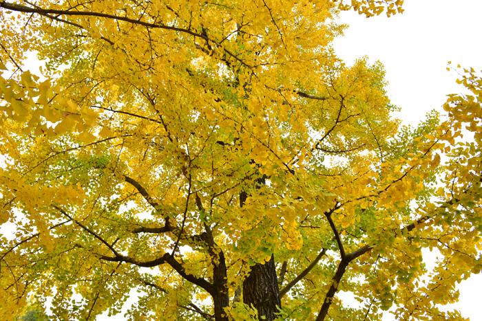 落葉時に葉が黄色に変わることです。紅葉と同じく日照時間が短くなると葉緑素が分解されて回収され、もともと葉にあった黄色色素のカロチノイドが目立つようになり、葉が黄色くなります。