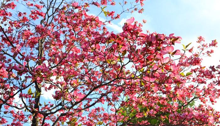 どうしても咲かせたい、そんなとき・・・。木をストレスにさらして花付きをよくする、という方策がとられる場合があります。木は生育環境など身に危険を感じると子孫を残そうとして花をつけたり実をつけるようになります。その仕組みを利用して、根切りをするというもの。幹から15cmくらい離れた場所にスコップを突き立て、根を切ります。これを3、4カ所行うことで、根が切られたハナミズキは子孫を残そうと花をつける・・・という大胆な手当て。いきなり大きく切ってしまうと後もどりできませんから、スコップで切らずとも根元を少しずつ掘り起こしながら根をカットしてみる、など少しずつ様子を見ながら行うのをオススメします。