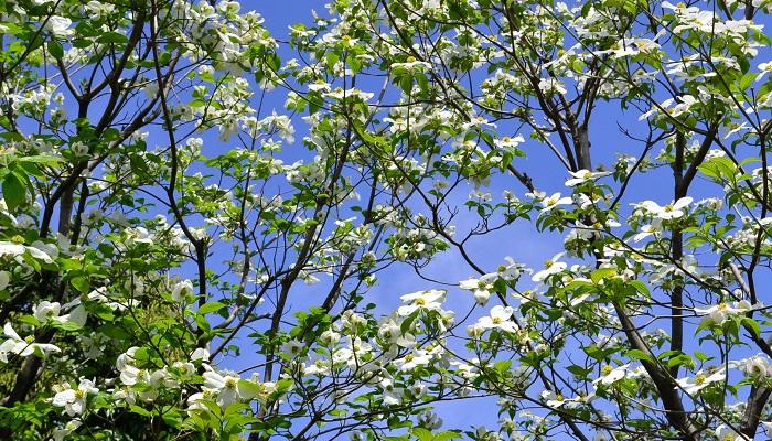 植物名ハナミズキ(花水木) 学名Cornus florida 英名Flowering dogwood 科名ミズキ科 属名サンシュユ属 原産地北アメリカ ミズキ科の落葉花木で高さは10mほどです。北アメリカ原産でアメリカを代表する花の一つでもあります。日本へ入ってきたのは明治時代。ワシントンにソメイヨシノを送った返礼としてやってきました。4月から5月にかけて白や赤の花を咲かせます。