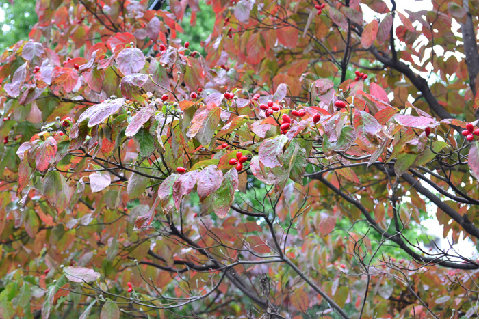 ハナミズキ  初夏の花と言えばハナミズキをあげる方も多いのでは?ハナミズキは、初夏だけでなく、紅葉や実も素敵な花木です。他の花木よりもいち早く紅葉が始まります。  写真は編集部の近所の街路樹のハナミズキ。