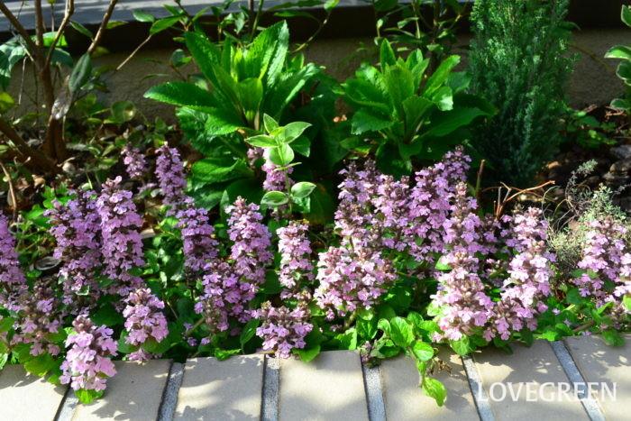 アジュガはシソ科の植物の常緑多年草。暑さ寒さに強く、子株のついたランナーを旺盛に伸ばし、日当たりのよくない場所でもよく増えます。アジュガは地面を覆うように生長する「匍匐性」の性質でグランドカバーとして、最近とても利用されています。  アジュガの花は、春になると株元から花茎が伸びて、紫やピンクの小花をいっせいに咲かせます。写真のように満開時のたくさんの花は、とても目を引き地面が華やかに彩られます。