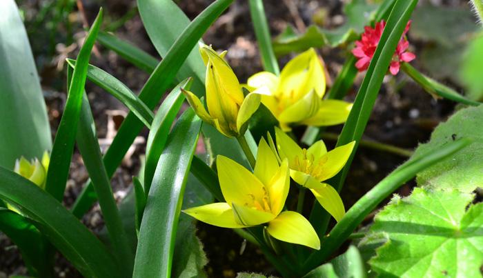 チューリップの球根は植えた年はよく咲きますが、それ以降は球根のサイズが最初の半分くらいのサイズになり、充実した花を咲かすことのできる球根にまでならないことが多いので、毎年球根を購入するのが一般的です。そんな中で原種のチューリップは数年間は植えっぱなしでも数年間は毎年開花します。小さなチューリップが地面一面に咲く様子はとても素敵で人気のある球根の花です。