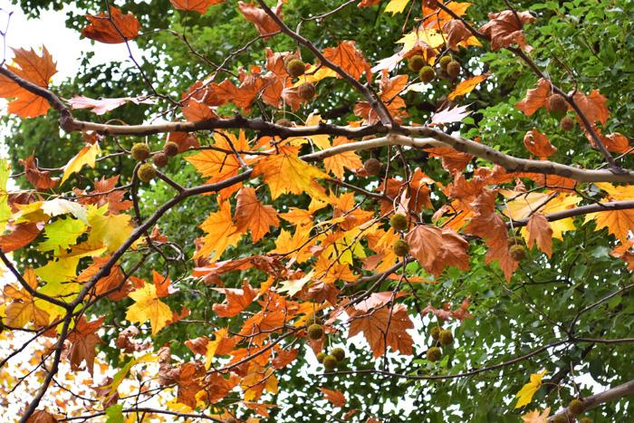 モミジバスズカケノキ落葉するころには、実がぶら下がっている光景を見ることもできます。