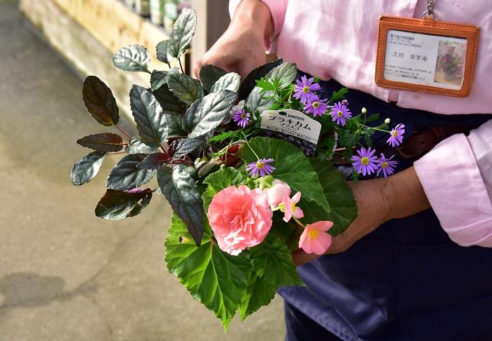 ピンク色のフォーチュンベゴニア、紫色の小花のブラキカム、胴葉色のヘミグラフィスの3ポットがはいかがですか。