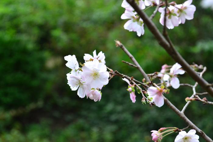 十月桜  狂い咲き?いえいえ、こちらは春と秋、年に2回咲く桜、十月桜です。小さくて可憐なうすピンク色の桜を秋に見ることができます。