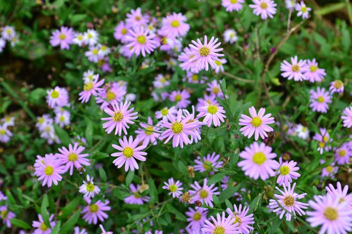 孔雀草(クジャクソウ)  孔雀草(クジャクソウ)は、別名クジャクアスター、宿根アスターとも呼ばれ、種類(品種)がとても多いキク科の多年草です。開花期は夏から11月頃くらいまで。花丈も種類によって様々ですが、小さい花ながら一株からたくさんの花が咲くので、秋の庭でとても目を引きます。