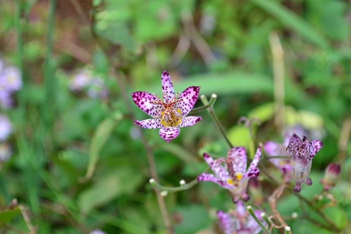 ホトトギス  ホトトギスは晩夏から秋に咲くユリ科の多年草。花の斑点がホトトギスの羽毛の模様に似ているため、ホトトギスという鳥の名前が付いたそうですが、種類によっては模様のないものもあります。楚々とした風情のある咲き方が人気の秋の山野草です。