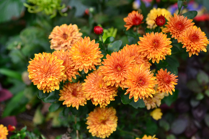 ガーデンマム(洋菊)  日本の秋の花の代表と言えば菊。現在では和菊から洋菊まで品種がとてもたくさんある花です。菊は生花としては通年出回る花ですが、本来は秋の花。「ポットマム」、「ガーデンマム」は菊の園芸品種。最近は寄せ植えに使いやすい菊も多数あり、秋の寄せ植え、花壇にとてもよく使われています。