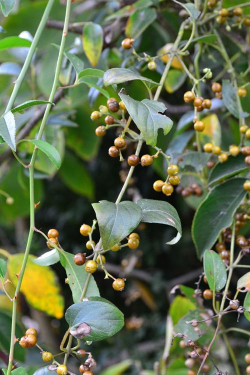 ヘクソカズラ  日本全国いたるところで見かけることのできる野草(雑草)のひとつのヘクソカズラ。アカネ科のツル性多年草で、夏に花が開花した後、秋に茶系のつやつやした小さな実をつけます。  ヘクソという名前は、生の実がなんとも言えない臭いがあることから。臭いはあまりよくないのですが、とても小さくてかわいらしい実が、最近ではリースの花材として花屋さんでも流通しています。リースの作り方は簡単です。長いツルをくるんと好みのサイズに丸めてひもで結んで出来上がり。しばらく乾燥しておくと簡単にリースになります。  ヘクソカズラの臭いは、摘んで間もない生の時期で、乾燥すると消えます。