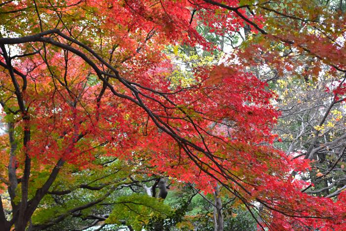 落葉時に葉が赤色に変わることです。日照時間が短くなると葉緑素が分解されて回収され、同時に葉の付け根にコルク質の離層ができます。離層は葉と枝との物質の交換を妨げるため、葉に蓄えられていた糖分から赤色色素のアントシアンが生成されても流れずにとどまり、葉が赤くなります。