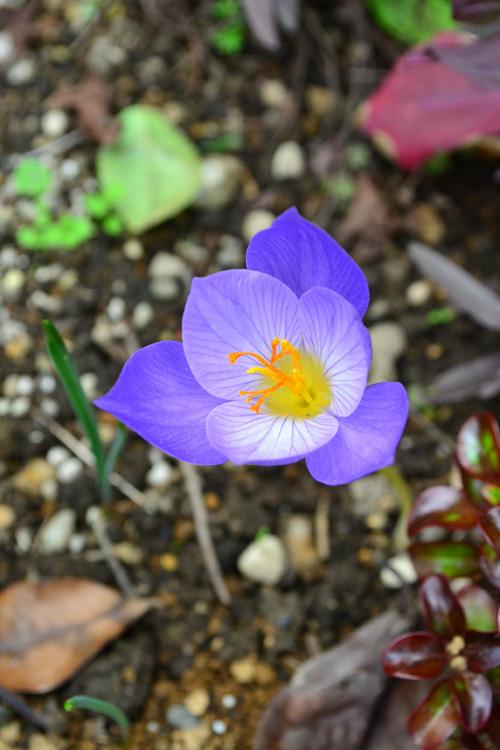 サフラン  サフランはクロッカスの仲間のアヤメ科の球根植物です。10月~12月の秋に開花します。草丈が10cmくらいしかありませんが、淡い紫が地面一面に広がると、とても目を引きます。