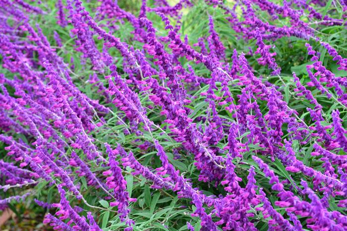 アメジストセージ  セージの中でも大きく育つアメジストセージは、晩夏から秋にかけて咲くシソ科の多年草です。もし、実物に出会ったら、花穂をそっと触ってみてください。ビロードのような肌触りは、モフモフの植物が好きな方はきっと気に入るはず。人の身長くらいの花丈、華やかなアメジスト色の花は、ガーデンでとても目を引く秋の花です。
