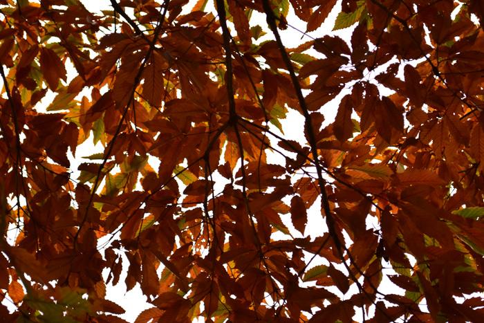 落葉時に葉が赤褐色や茶褐色など、褐色に変わることです。紅葉、黄葉と同じく日照時間が短くなると葉緑素が分解されて回収され、もともと葉に蓄えられていた褐色色素が目立つようになり、葉が褐色になります。