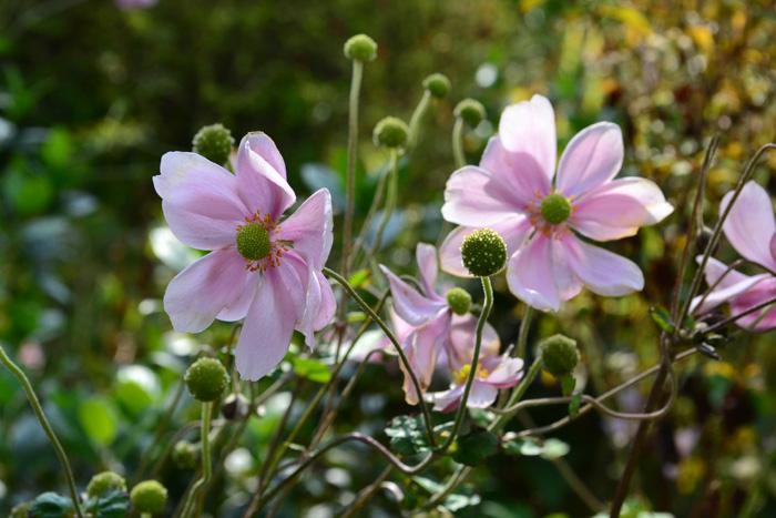秋明菊(シュウメイギク)は最近は苗ものの他、切り花としても流通しています。品種は白、ピンクの他、濃いピンクもあります。咲き方も八重咲き種など、新品種も次々と登場しています。