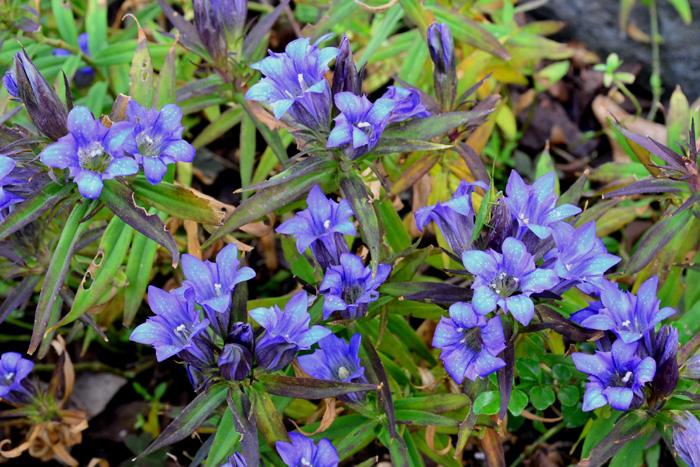 リンドウ  リンドウはリンドウ科の多年草で、日本原産の植物です。リンドウは日本のほぼ全域に生息しています。秋の野山に釣鐘型の花を咲かせます。