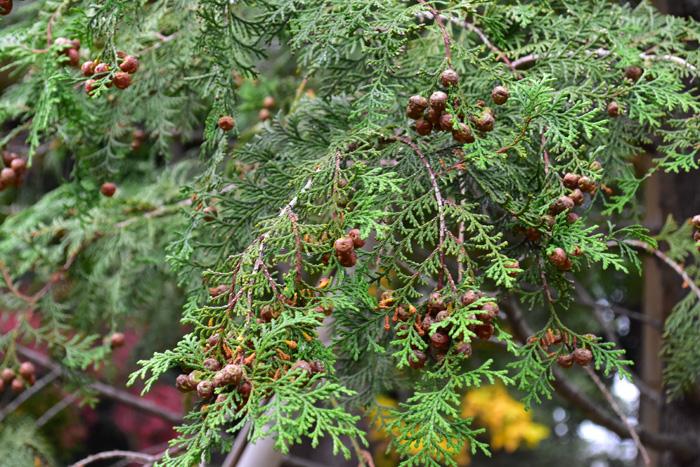 葉が一斉に落ちる落葉樹と古くなった葉が順に落ちる常緑樹の違いとは何なのでしょうか。  それは葉の寿命の違いです。  落葉樹は冬の寒さと乾燥から身を守るために秋には葉を落とし、活動を停止します。なので、落葉樹の葉の寿命は約半年。それに対し、常緑樹は一年以上。春になって新しい葉が出てきたら古くなった葉を落とす植物や、毎年半分ずつ葉を交換する植物、葉が出てから2,3年たったら順番に落としていく植物など、様々な種類があります。葉の寿命は種類によって違い、平均的な樹木は1~3年、ヒノキは6年とも言われています。