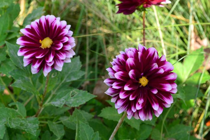 ダリア  夏から秋の花と言えばダリア。庭でも生花としても人気の花です。最近は続々と新品種が登場して、色、咲き方など、本当にたくさんのダリアを見ることができるようになりました。  華やかで豪華な雰囲気のダリア。夏は切り戻すのと、暑さで花は休みがちになりますが、秋はダリアが素敵に返り咲く季節です。