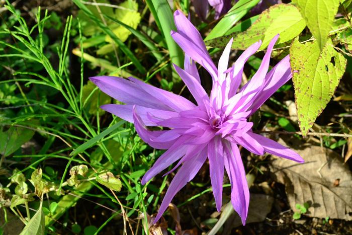 イヌサフランの球根や葉は有毒で、ニンニクやタマネギと間違えて誤食したことによる死亡事故が複数起きています。花が咲いたあとの葉っぱと球根の姿がギョウジャニンニクと似ていることも事故が多い原因だと思われます。  とてもかわいい花ですが、家庭菜園の近くには植えないようにするとよいでしょう。  サフランとイヌサフランの葉っぱの違い  イヌサフランはユリ科なので、葉っぱがユリの葉に似た細長い葉をしています。一方、サフランは松の葉のような細い葉をしています。