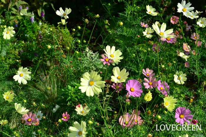秋桜(コスモス)  漢字で書くと秋の桜と記されるキク科の一年草のコスモス。最近はピンク系濃淡の他、黄色、サーモンピンク、白、など色合いがとても豊富な草花になりました。色の他、咲き方も一般的な咲き方の他、八重咲き、ストロー咲きなど、続々と新品種の秋桜(コスモス)が登場しています。