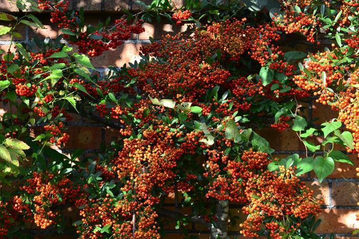 ピラカンサ  ピラカンサはバラ科の常緑の低木。初夏に白い花が咲いた後、秋に枝一面にびっしりと実がつきます。様々な実がなる木の中で、実つきの量としては、一番多い木のひとつではないでしょうか。昔から生垣にもよく使われている常緑樹です。