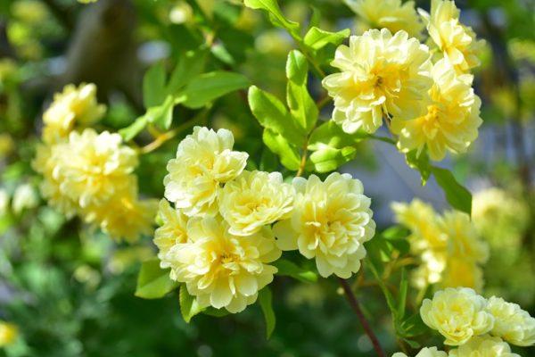 モッコウバラの花は春、4~5月に一斉に咲き始めます。他のバラよりも少し早咲きです。白やカスタードクリームのような黄色の花を、たわわに咲かせる姿は圧巻です。  たくさんの花数のモッコウバラに仕立てるには、シュートを誘因する向きと剪定の時期がポイントです。  誘因は秋ごろに行うとよいでしょう。誘因する時のポイントは、シュートを直立させるのではなく、横向き(地面に対して水平気味に)に誘因していくと花つきが多い枝になります。直立させると茎先にしかつぼみがつかないので、花数が少なくなってしまいます。