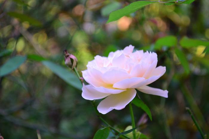バラ  秋は四季咲きのバラの開花期。10月~11月は全国のバラ園で様々な種類のバラを見ることが出来ます。朝晩の気温が下がる秋は、花が長持ちするのが魅力のひとつ。初夏は初夏の良さもありますが、秋バラは秋バラならではの美しさがあり、同じ品種でも違った表情を見せてくれます。