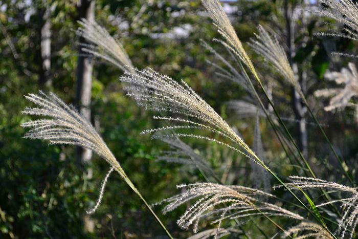 ススキ  秋の野原と言えばススキをイメージする方も多いのでは。秋ならではの植物、ススキはイネ科の多年草。秋の七草の一つでもあります。