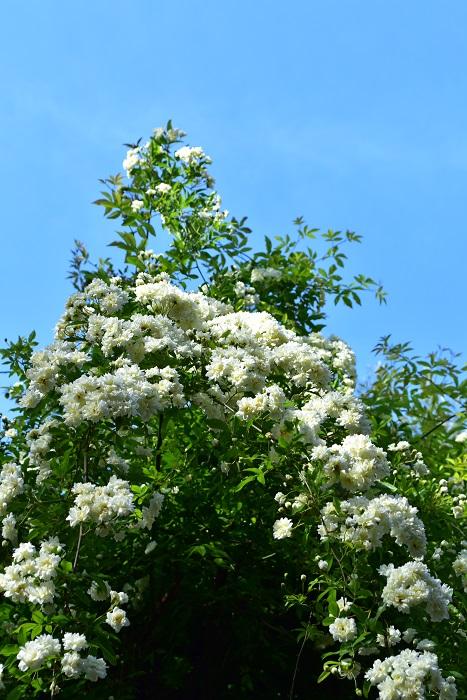 モッコウバラ(木香薔薇)は生育旺盛なバラのひとつです。地植えのモッコウバラ(木香薔薇)はとても伸びるので、隣の植物とのスペースを広くとって植栽しましょう。  モッコウバラ(木香薔薇)の仕立て方は伸びたシュートをフェンスやアーチに誘因して育てていくのが一般的です。高いフェンスでも低いフェンスでも、仕立て方次第で様々な外観に仕立てることができます。トゲもないので扱いやすいバラです。  モッコウバラ(木香薔薇)は花後の初夏から夏にかけて、ぐんぐんとシュートを伸ばし生長します。来年の花を咲かせるための剪定は7月までに済ませ、その後の誘因は秋ごろに行うとよいでしょう。誘因する時のポイントは、シュートを直立させるのではなく、横向き(地面に対して水平気味に)に誘因していくと花つきが多い枝になります。