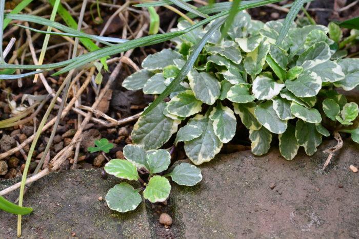 アジュガは、植え付けて間もなくすると、株元から子株のついたランナーを伸ばして生長します。写真左のレンガに密着しているのが子株。とても強い草花ですが、広がり方は比較的ゆっくりです。