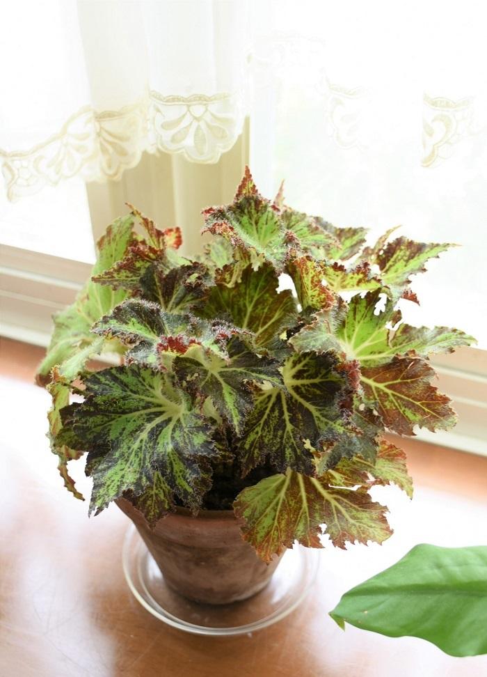 レックスベゴニアが大好きです。丈夫で葉の色や模様が美しく、寄せ植えにもハンギングバスケットにも活躍してくれます。この葉を何と合わせたらもっと素敵になるだろうと考えるのもとても楽しいです。  土谷さんが実際に育てていらっしゃるレックスベゴニアのお写真をお借りしました。