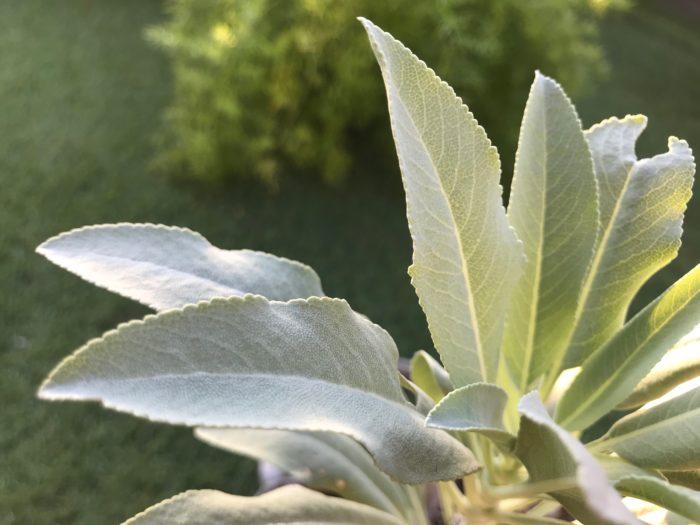 """ホワイトセージ(正式名称はサルビア・アピアナ)はシソ科アキギリ属、原産国はアメリカのカリフォルニア州南部から伝わって来た植物です。高さ1.5m程になり、半耐寒性常緑低木。茎や葉に特徴があり、白い産毛のような粉に覆われている様子からホワイトセージと呼ばれています。花は薄紫色の小さな花をつけ、咲き始めは白をしていますが、少しずつ淡い紫色に変化してきます。葉は細長くボート型をしていて、その使用方法はさまざまで、ミネラルやビタミンが豊富な事から、そのままサラダとして食用とされたり、また肉料理の臭みを消したり、肉料理との相性が良い為、香りづけとしても使用されています。乾燥したホワイトセージはハーブティーとしても人気が高く、リラックス効果があります。また乾燥したホワイトセージの葉は焚くと独特の清潔感ある香りが広がり、この香りもリラックスと集中力を高める効果があると言われています。  ホワイトセージは原産地であるアメリカカリフォルニア州南部のネイティブアメリカン(アメリカ原住民)との繋がりが深く、生活に利用され、神聖な植物として宗教儀式の中で焚いたり、煙をかぶったり、薬草として葉を食べたり、また食用にも用いられていました。  ホワイトセージの育て方 ▼ホワイトセージの詳しくはこちらへ  <div class=""""posttype-library shortcode""""><div id=""""postMain"""" class=""""full""""><article class=""""library-list-tax""""><a href=""""https://lovegreen.net/library/herb/p92391/"""" class=""""clickable""""></a>    <div class=""""library-list-ttl clearfix"""">    <h2 class=""""library-list-ttl-text""""><span class=""""library-list-ttl-text-inner"""">ホワイトセージ</span></h2>     <div class=""""library-list-types"""">     <a href=""""/library/type/herb"""" class=""""library-list-type <?php echo $slug; ?>"""">ハーブ</a>    </div>  </div>   <div class=""""thumbnail"""" style=""""background:url(https://lovegreen.net/wp-content/uploads/2017/05/557e8caff24598c691dbeb6bc5b0dd70-300x200.jpg) no-repeat center/cover;""""></div>   <div class=""""top-post-ttl-extext"""">           <ul class=""""library-list-list"""">           <li class=""""library-list-item""""><p>ホワイトセージは正式名称がサルビア・アピアナで高さ1.5mほどになる常緑の低木です。アメリカのカリフォルニア州南西部に分布しており、茎や葉など全体が白っぽく見えることからホワイトセージと呼ばれています。葉は長さ15センチほどの楕円形で両面に細かな毛が生えています。葉には油分を含み、こするとセージの香りを一層強くしたような芳香があります。1mほど花茎をのばした先端に春に咲く花は白から淡いラベンダー色になり、ミツバチにとっての蜜源植物でもあります。特にネイティブアメリカンの生活に利用される機会が多く、宗教儀式の香として焚いたり薬草として葉を食べたり煙をかぶったり、また食用にも用いられています。</p> </li>       </ul>       </div> </article></div></div>"""